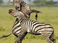 İşte saniye saniye zebraların kanlı savaşı
