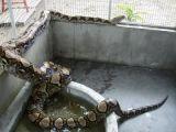 foto-galeri-anakondayi-kuyruktan-yakaladi-12473.htm