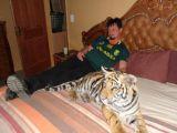 170 kiloluk Bengal kaplanıyla birlikte yaşıyorla