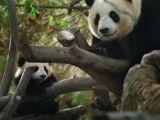 foto-galeri-bai-yun-en-dogurgan-panda-oldu-13971.htm