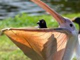 Bu dünyanın en aptal güvercini mi?