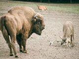 1 tonluk bizona kafa tuttu