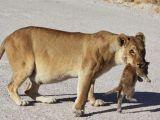Aslanların şaşırtan görüntüleri