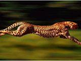 Çita'nın Hızı 3 Saniyede 120 km!