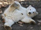İkiz Kutup Ayılarına İlgi Büyük