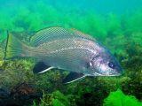 Eşkina Balığının Nesli Tükenmek Üzere
