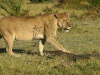 Timsah aslana kafa tutarsa