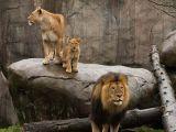 foto-galeri-aslan-yavrularinin-babalariyla-ilk-bulusmasi-29656.htm