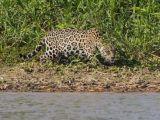 foto-galeri-sinsi-jaguar-jawsa-donustu-32160.htm