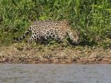 Sinsi Jaguar Jaws'a dönüştü