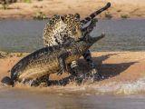 Jaguar timsahı böyle avladı