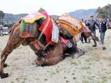 foto-galeri-deve-guresleri-nefes-kesti-37506.htm