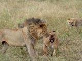 Aslanların kavgası dehşete düşürdü