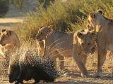 foto-galeri-yavru-aslanlarin-kirpiyle-imtihani-41890.htm