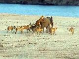 14 aslana kafa tutan fil