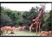 Aslanlar zürafayı böyle avladı