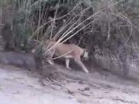 Aslanlar yavru file böyle saldırdı