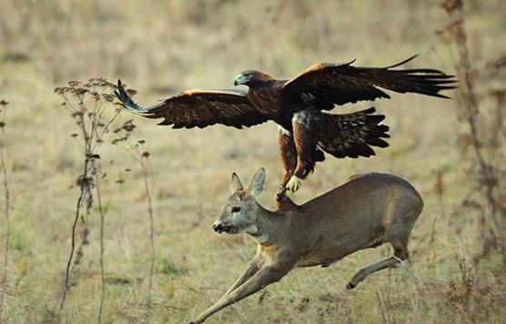 Harpy eagle hunting monkey - photo#54