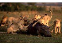 Doğanın vahşileri böyle avlanıyor!