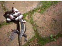 foto-galeri-piton-timsahi-bir-cirpida-yuttu-8922.htm