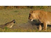 foto-galeri-aslan-avini-boyle-parcaladi-9407.htm