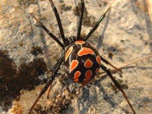 Rusya'da Öldürücü Örümcek Tespit Edildi