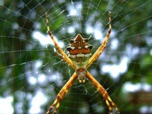 Kronik Ağrılara Örümcek Zehri