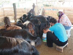 Keçi Çiftliği Kuran Kadın Girişimciler, Pazarlama Sorunu Yaşıyor
