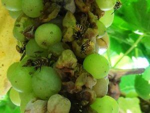 Arılar Üzümleri Telef Etti