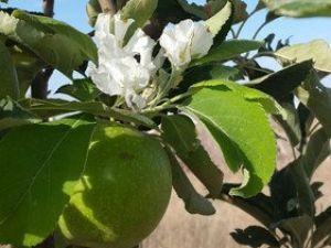 Aksarayda Dalında Meyvesi Olan Elma Ağacı Çiçek Açtı