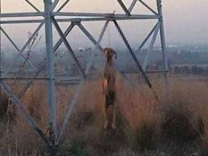 KKTCde Asılı Halde Bir Köpek Bulundu