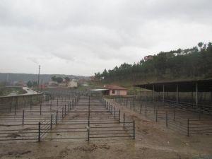 Boyabatta Şap Karantinası Hayvan Pazarını Boş Bıraktı