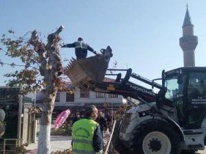 Merzifon Belediyesi, Ağaçları Buduyor