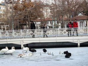 Konyada Süs Havuzları Donunca Kuğular Buz Üstünde Kaldı