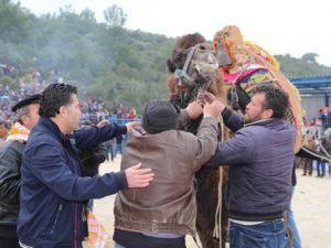 Bodrumda Deve Güreşi Festivali