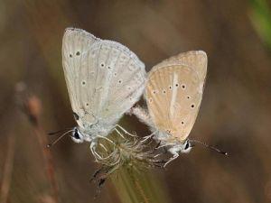 Toroslarda Yeni Kelebek Türü Keşfedildi