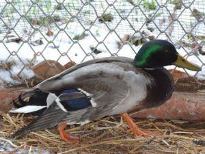 Avcıların Vurduğu Kuşlar Tedavi Ediliyor