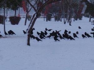 Kargalar Karnını Doyurmak İçin Karda Yiyecek Arıyor