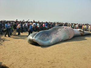 Hindistanda Halk Karaya Vuran Ölü Balinayı Görmek İçin Sahile Akın Etti