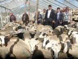 Tarım Kredi Kooperatifi'nden Köylüye Damızlık Koyun - Mersin