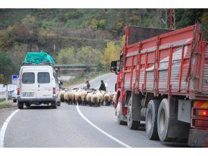 Yayla Dönüşü Koyun Sürüleri Karayollarında Tehlike Saçıyor
