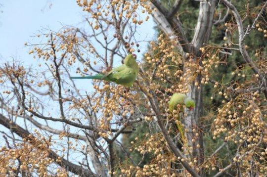 Yeşil Papağanlar İzmirli Oldu - İzmir