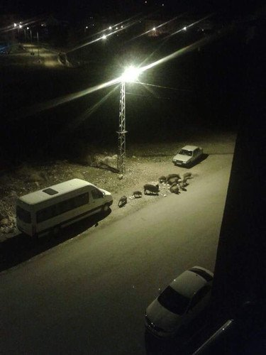 Tunceli'de Yaban Domuzları Şehre İndi