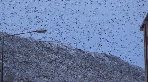 Göç Yolundaki Kuşlar Kars'ta Soğuk Havaya Yakalandı