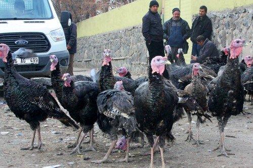 Organik Hindiler Görücüye Çıktı