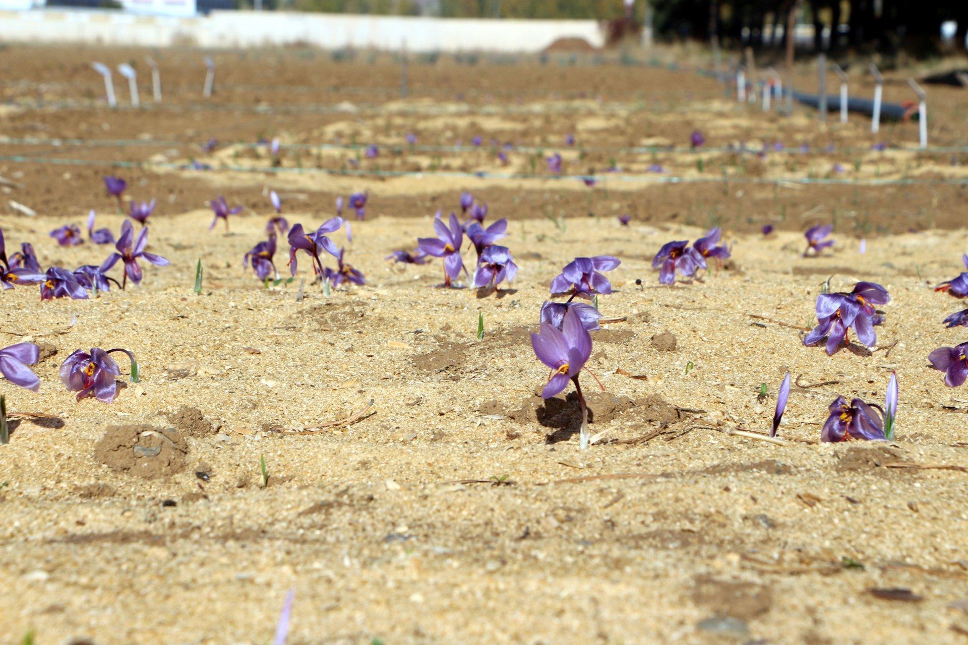 Safran nedir, Safran tarımı nasıl yapılır